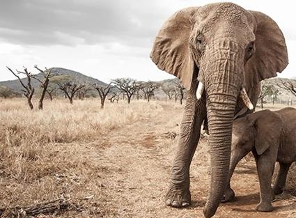 elephant_gin1