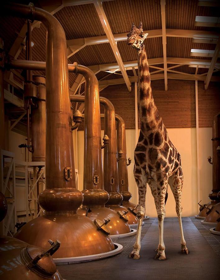 Glenmorangie_Spirit_Stills_3_mit_Giraffe